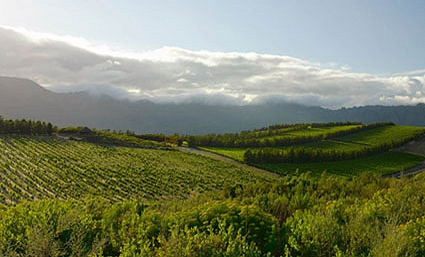South African Vineyard producing excellent white wines